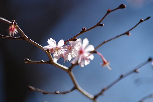 十月桜(上野公園)