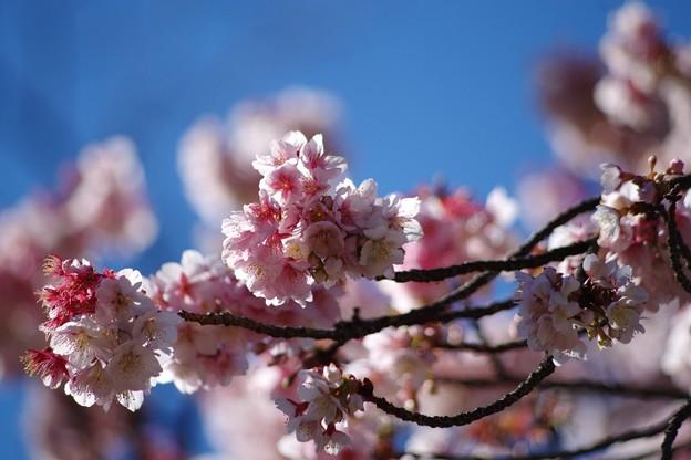 大寒桜1(上野公園)
