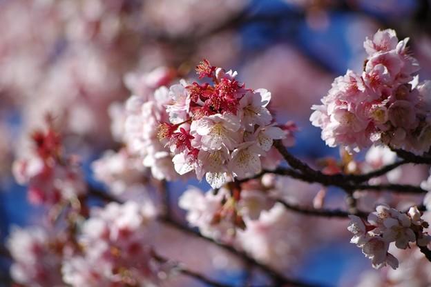 大寒桜2(上野公園)