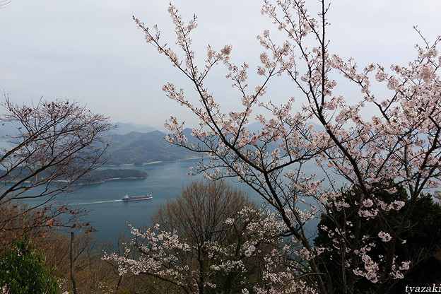 瀬戸内海と桜1