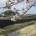 Photos: 太宰府の御笠川と桜  2