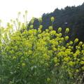 Photos: 菜の花の光景  1