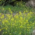 Photos: 菜の花の光景  3