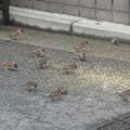スズメの群れ  5
