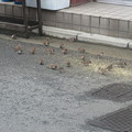 スズメの群れ  6