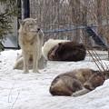 狼たちの午後