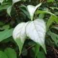 写真: マタタビの白くなった葉