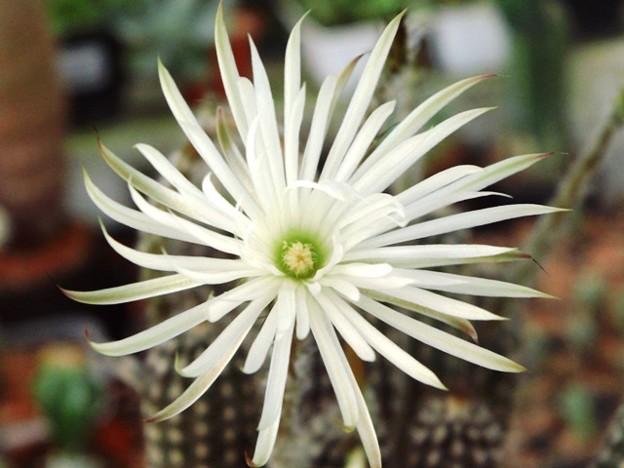 Setiechinopsis mirabilis Backeb