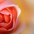 写真: 芳しき薔薇の花