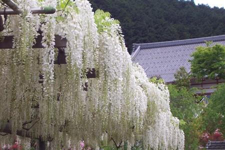 菩提寺の藤1
