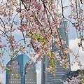 Photos: 桜漫遊・掃部山公園。