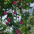薔薇のカーテン。