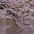 Photos: 桜色。