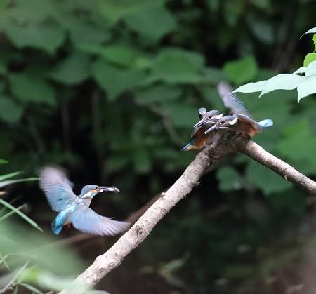 カワセミ(196)−雛巣立ち、 給餌の争い