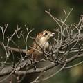 百舌鳥の早贄1(2)