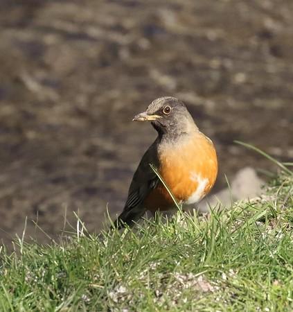 野鳥(1090)−オオアカハラ, 今冬は希少な