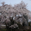 東郷寺 枝垂れ桜(4)