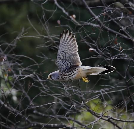 チョウゲンボウ 飛翔(2)