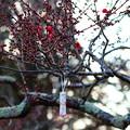 写真: 梅に願いを