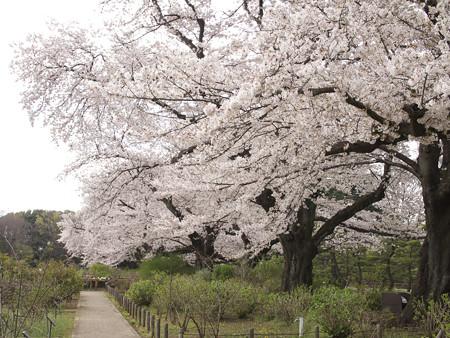 バラ園横の桜並木(1)