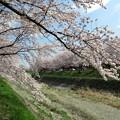 春の日さくら並木
