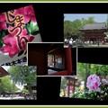 Photos: 根津ツツジ祭り