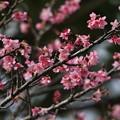 写真: 桜咲く美ら島
