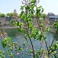 写真: 桐の花と大阪城 (1)