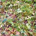 四葉のオキザリス