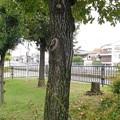 コナラの幹