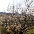 写真: 明日香の白梅