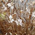 冬の紫陽花 (1)