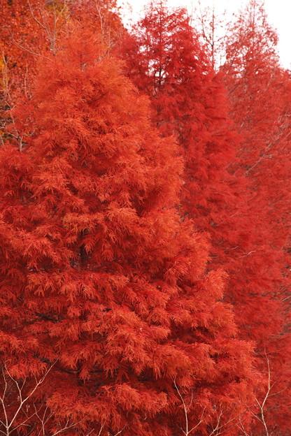 Photos: 古代の紅葉