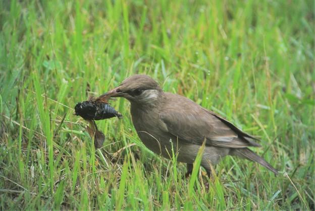ムクドリは花を食べる野鳥なの?   ムクドリの知識 …