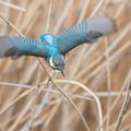写真: カワセミ飛翔1