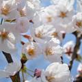 150412桜01