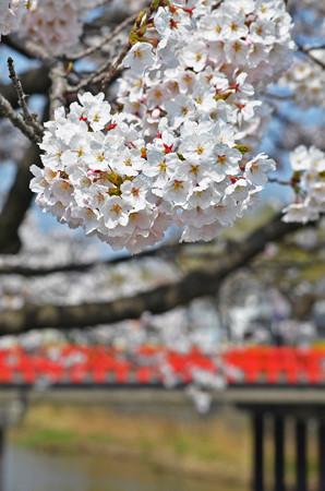 150412桜11