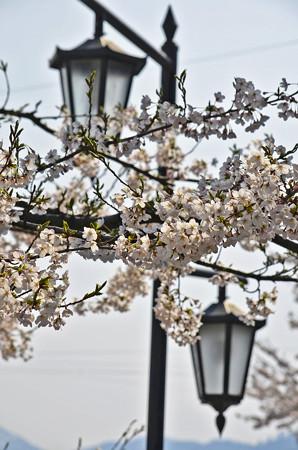 150412桜17
