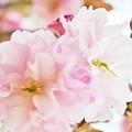 150426桜