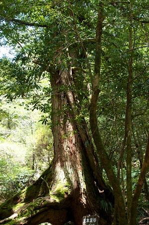 白谷雲水峡の木その8