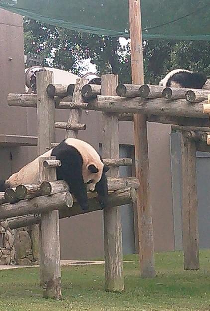 パンダみたいにだらーんとして眠ってほしい。