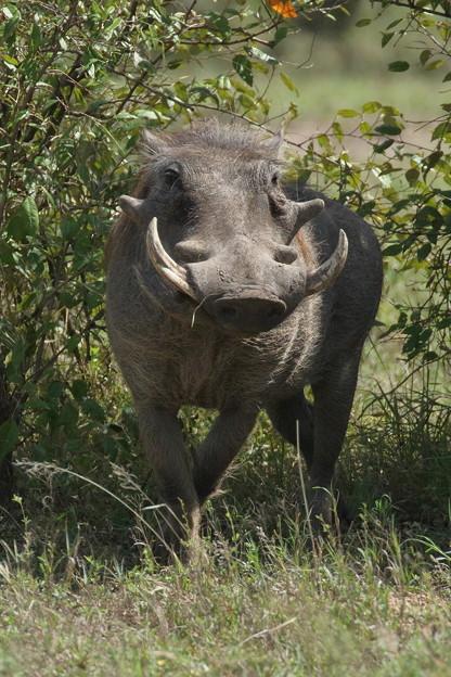 アフリカの動物ポートレイトシリーズ19