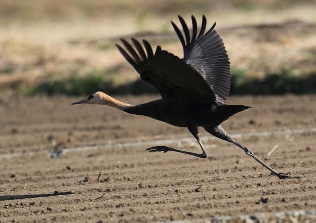 ナベヅル幼鳥-飛び出し5