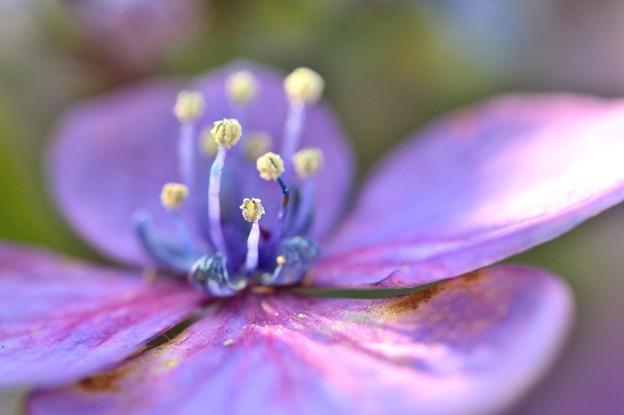 Photos: 梅雨に咲く 2