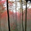 写真: 霧の中の紅葉 2
