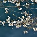 Photos: 咲くのは