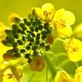 写真: 花菜と菜花