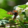 サカハチチョウ春型(奈良県川上村)