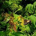 コヒオドシとサカハチチョウとカラフトタカネキマダラセセリとコチャバネセセリ