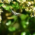 Photos: アオスジアゲハ飛翔